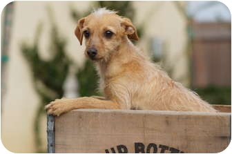 Jack Russell Terrier/Terrier (Unknown Type, Small) Mix Dog for adoption in Tustin, California - Scarlet