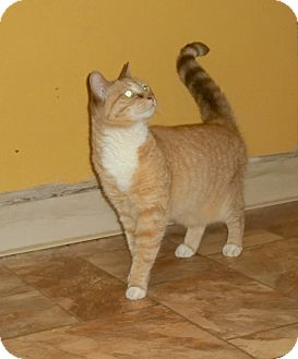 American Shorthair Cat for adoption in Chesapeake, Virginia - Maggie