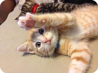 Domestic Shorthair Kitten for adoption in Gainesville, Florida - Pyro