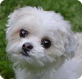 Maltese Mix Dog for adoption in Hagerstown, Maryland - Charlie *adopt fee $350