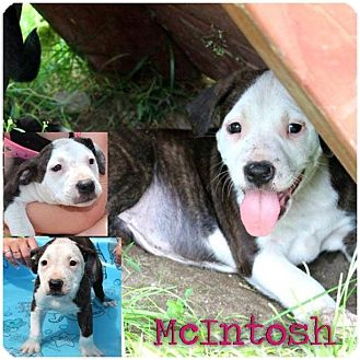 American Bulldog/American Pit Bull Terrier Mix Puppy for adoption in Garden City, Michigan - McIntosh