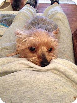 Yorkie, Yorkshire Terrier Dog for adoption in Goodyear, Arizona - Lucy