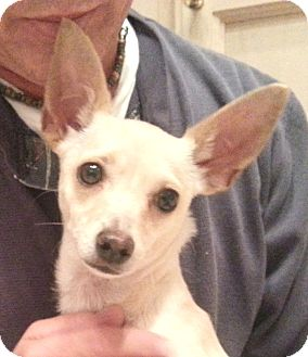Chihuahua Dog for adoption in Orlando, Florida - Grace