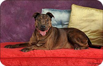Labrador Retriever Mix Dog for adoption in Las Vegas, Nevada - Lolly