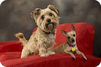 Chihuahua Mix Dog for adoption in Anchorage, Alaska - Ella