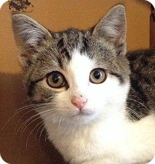 Domestic Shorthair Kitten for adoption in Brimfield, Massachusetts - Midge