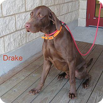 Labrador Retriever/Weimaraner Mix Dog for adoption in Slidell, Louisiana - Drake