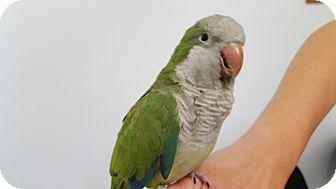 Parakeet - Quaker for adoption in Grandview, Missouri - Kiki