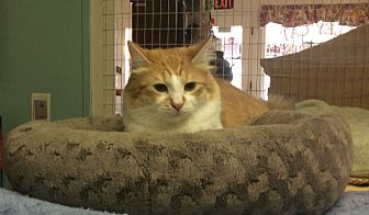 Domestic Mediumhair Cat for adoption in Oakland, Oregon - Reese