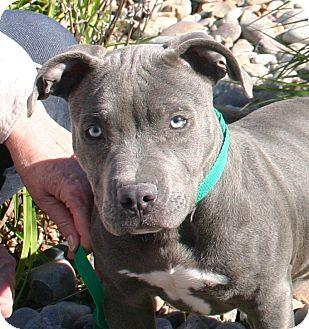 American Bulldog/Pit Bull Terrier Mix Puppy for adoption in Hastings, Nebraska - P.D.