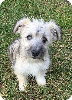 Schnauzer (Standard)/Terrier (Unknown Type, Small) Mix Puppy for adoption in West Milford, New Jersey - CHASE-Pending