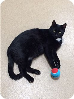 Domestic Shorthair Cat for adoption in Toms River, New Jersey - Fluffy