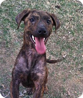 Labrador Retriever/Plott Hound Mix Dog for adoption in Ashland, Kentucky - Blossom