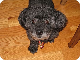 Poodle (Miniature) Mix Dog for adoption in Worcester, Massachusetts - Ricky Ricardo