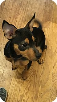 Miniature Pinscher/Chihuahua Mix Dog for adoption in Gallatin, Tennessee - Dalton