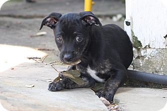 Chihuahua Mix Puppy for adoption in Dallas, Texas - Winchester - Puppy