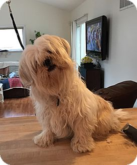 Lhasa Apso Dog for adoption in Woodbine, New Jersey - Jersey