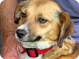 Spaniel (Unknown Type)/Beagle Mix Dog for adoption in Germantown, Maryland - Dolly
