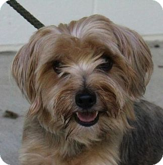 Yorkie, Yorkshire Terrier Mix Dog for adoption in Washington, D.C. - Toby
