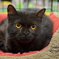 Adopt A Pet :: Sasha - Montgomery, TX