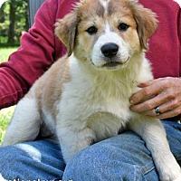 Adopt A Pet :: Aster in NY / pup - pending - Beacon, NY