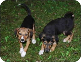 Beagle/Pomeranian Mix Puppy for adoption in Portland, Ontario - sonny &cher