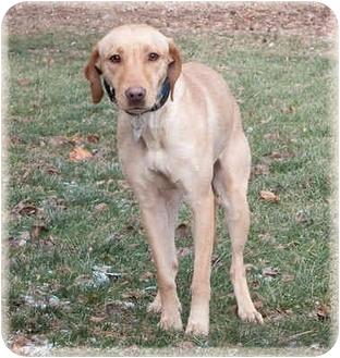 Labrador Retriever/Redbone Coonhound Mix Dog for adoption in Howell, Michigan - Noel
