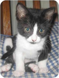 Domestic Shorthair Kitten for adoption in Mt. Prospect, Illinois - Prancer