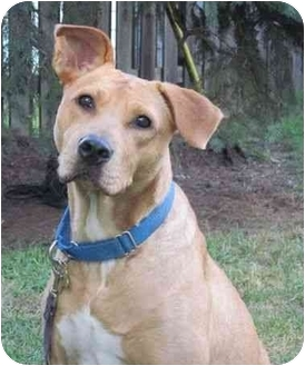 Labrador Retriever Mix Dog for adoption in Detroit, Michigan - Optimus Prime