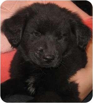 Newfoundland/Golden Retriever Mix Puppy for adoption in Hammonton, New Jersey - Diane