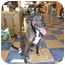 Photo 2 - Belgian Shepherd/Labrador Retriever Mix Dog for adoption in Boca Raton, Florida - Delilah