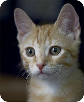 Domestic Shorthair Kitten for adoption in Chicago, Illinois - Boone