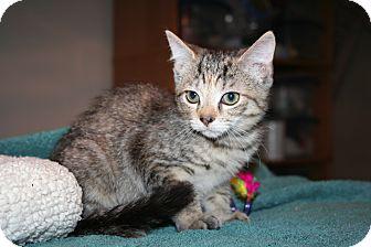 Domestic Shorthair Kitten for adoption in Santa Rosa, California - Magnolia