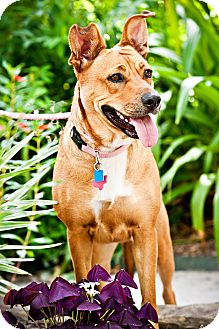 Shepherd (Unknown Type) Mix Dog for adoption in Houston, Texas - Katie