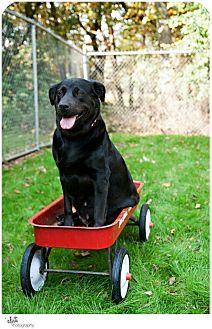Labrador Retriever Mix Dog for adoption in New Fairfield, Connecticut - Laverne