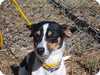Chihuahua/Rat Terrier Mix Dog for adoption in Sterling, Colorado - Bella