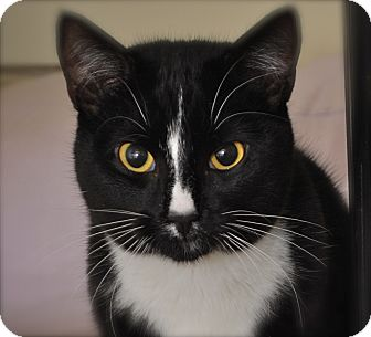 Domestic Shorthair Cat for adoption in Trevose, Pennsylvania - Turk