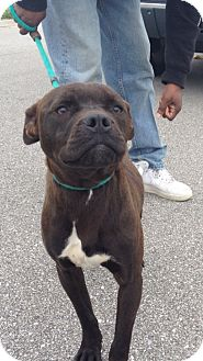 Pit Bull Terrier/Boxer Mix Puppy for adoption in Pittsburgh, Pennsylvania - Cherokee
