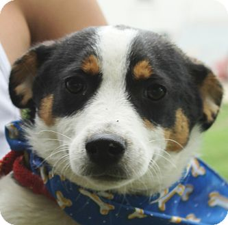Terrier (Unknown Type, Small) Mix Puppy for adoption in Lexington, Missouri - Dante