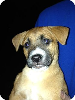 Labrador Retriever/Boxer Mix Puppy for adoption in Barnegat, New Jersey - Pumpkin *Adopted