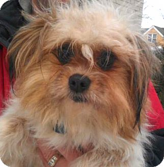 Shih Tzu/Pomeranian Mix Dog for adoption in Chicago, Illinois - Marie