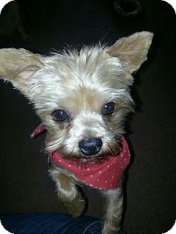 Yorkie, Yorkshire Terrier Dog for adoption in Wichita, Kansas - Pooka