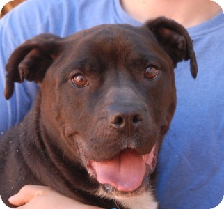 American Staffordshire Terrier/American Pit Bull Terrier Mix Dog for adoption in Las Vegas, Nevada - Roxy