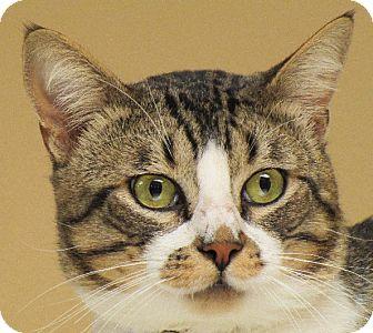 Domestic Shorthair Cat for adoption in San Leandro, California - Bandit