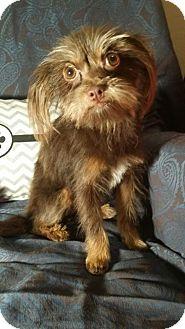 Yorkie, Yorkshire Terrier Mix Puppy for adoption in Mesa, Arizona - MITZY ADOPT HER SATURDAY 11A-2