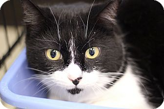 Domestic Shorthair Cat for adoption in Chicago, Illinois - Batman Bear