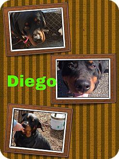 Rottweiler Dog for adoption in Kansas City, Missouri - Diego