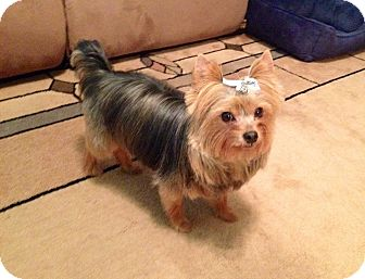 Yorkie, Yorkshire Terrier Dog for adoption in Statewide and National, Texas - Hershey