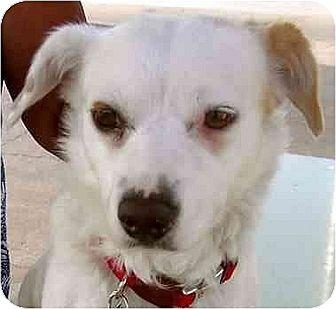Corgi/Chihuahua Mix Dog for adoption in Downey, California - Molly