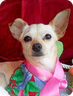 Italian Greyhound Mix Dog for adoption in Pasadena, California - CAMILLA